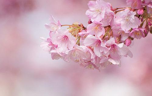 最美的樱花只开在你身边